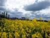 Rape filed with cloudy sky